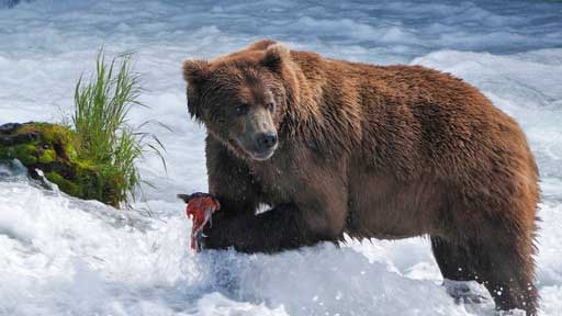 In this undated image released by PBS, a brown bear catches salmon at Brooks Falls Katmai National Park and Preserve in Alaska. PBS is collaborating with the BBC on a live nature series set in Alaska this July, where cameras will attempt to capture bears, eagles, wolves and whales in their natural habitat.  (Gareth Wildman/PBS via AP)