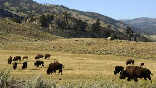 FILE - In this Aug. 3, 2016 file photo, a herd of bison grazes in the Lamar Valley of Yellowstone National Park. A Montana legislative committee wants American Indian tribes to be able to hunt bison inside Yellowstone National Park to better control herds of the animals that migrate into Montana during winter, Thursday, Sept. 15, 2016. (AP Photo/Matthew Brown, File)