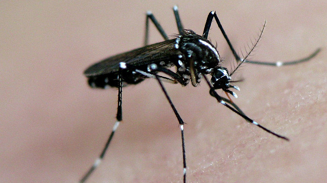 """""""asian tiger mosquito in action"""" by frankieleon licensed under CC BY 2.0"""